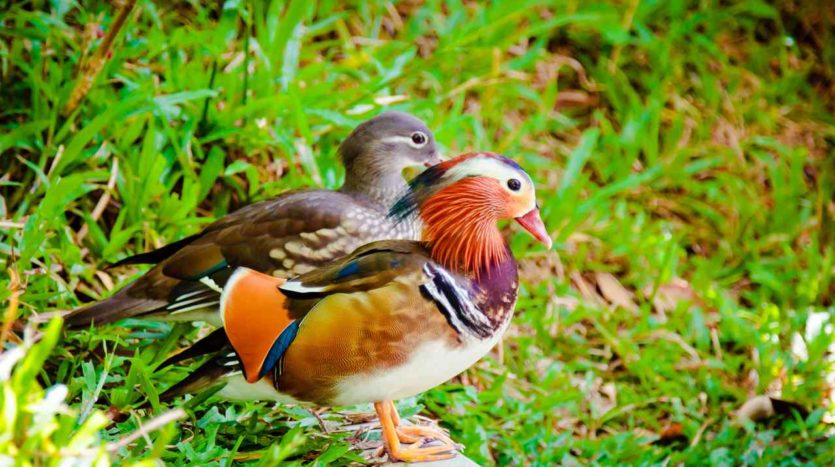 Bird Park Mandarin Duck