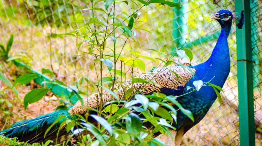 Bird Park Peacock